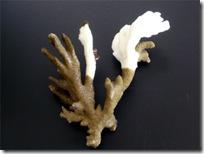 White syndromeを発症したエダコモンサンゴ